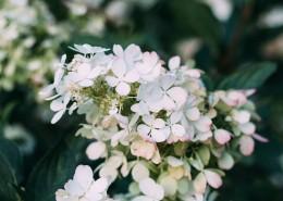 洁白的鲜花图片(16张)