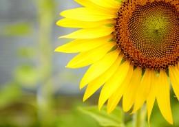 一朵美丽的向日葵图片(11张)