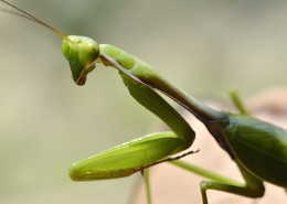 绿色霸道的螳螂图片(11张)