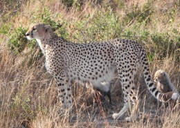 迅捷勇猛的野生猎豹图片(15张)