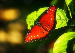 红色的蝴蝶图片(11张)