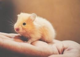 可爱的小仓鼠图片(9张)