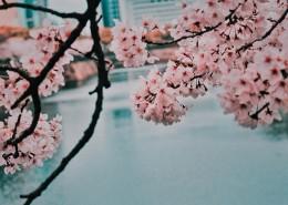 树梢上的樱花图片(14张)