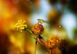 轻盈的蜻蜓图片(11张)