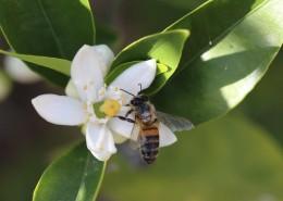 正在采花蜜的蜜蜂图片(13张)