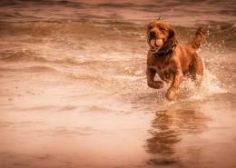 在海边玩耍的狗狗图片(11张)
