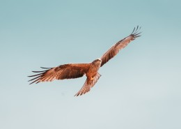 空中飞翔的老鹰图片(8张)