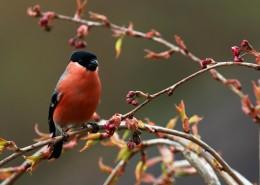 玲珑小巧的红腹灰雀图片(10张)