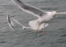 展翅飞翔的海鸥图片(13张)