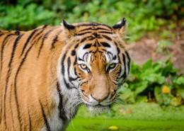 勇猛的老虎图片(12张)