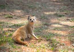 机灵的猫鼬图片(11张)
