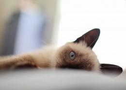 慵懒的暹罗猫图片(11张)