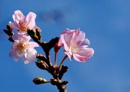 唯美好看的樱花图片(8张)