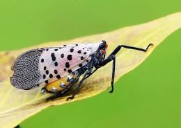 昆虫斑衣蜡蝉图片(12张)