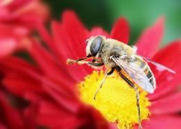 勤劳的蜜蜂图片(10张)