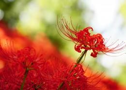 红色的蜘蛛百合图片(11张)