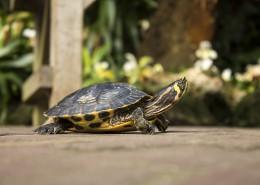 缓慢爬行的乌龟图片(16张)