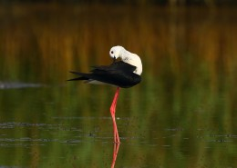 优雅的黑翅长脚鹬图片(9张)