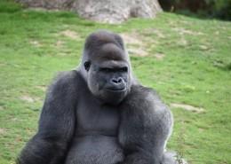 体型庞大的银背大猩猩图片 (14张)
