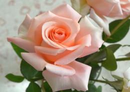 淡雅的粉色玫瑰花图片(16张)
