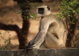 长尾叶猴图片(11张)