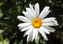 绽放的雏菊图片(12张)