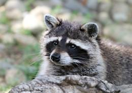 可爱的浣熊图片(16张)