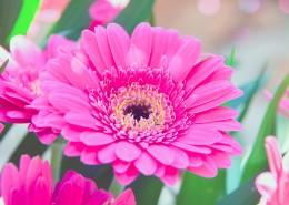 盛开的非洲菊图片(12张)
