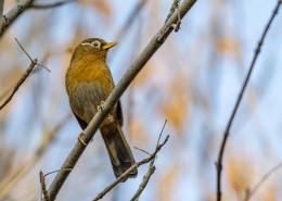 机敏的画眉鸟图片(9张)