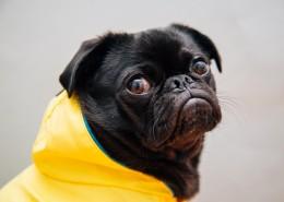 可爱的哈巴狗图片(25张)