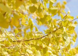 秋天唯美银杏叶图片(9张