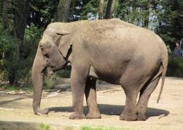 丛林中的野生大象图片(13张)