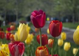 颜色各异的郁金香图片(1