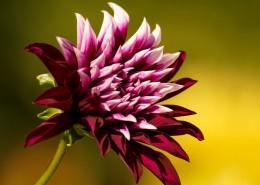 娇艳盛开的菊花图片(12张)