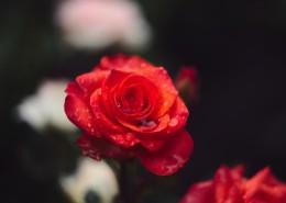 鲜花花瓣上的水珠图片(1