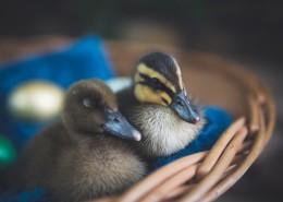 可爱的小鸭图片(10张)