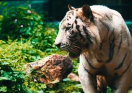体格健壮的老虎图片(12张)