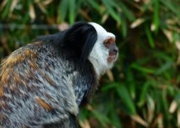 白头狨猴图片(7张)