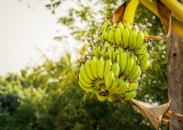 未成熟的绿色香蕉图片(10张)