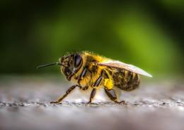 蜜蜂特写图片(11张)