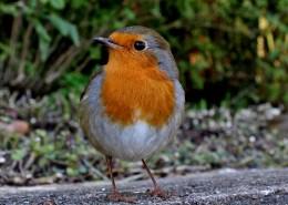 小巧可爱的知更鸟图片(16张)
