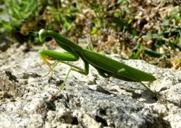 浑身绿色的螳螂图片(15