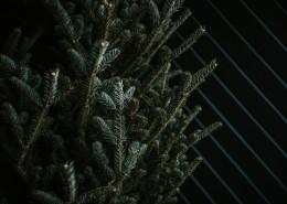翠绿的松柏图片(12张)