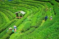 绿色茶园风景图片(26张)