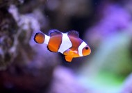 小丑鱼高清图片(14张)