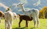 可爱羊驼图片(18张)