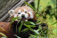 正在吃竹叶的小熊猫图片(12张)