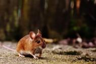 可爱的小老鼠图片(10张)