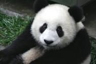 可爱无敌大熊猫图片(8张)