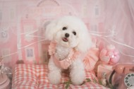 萌萌的泰迪犬图片(10张)
